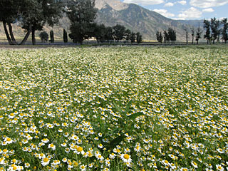 Young Living Chamomile field